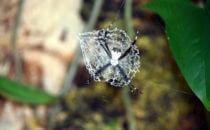 Webspinne (Argiope savigny), Gandoca – Manzanillo, Costa Rica