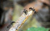 Ameisen, Gandoca – Manzanillo, Costa Rica
