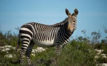 Bergzebra, De Hoop Nature Reserve, Südafrika