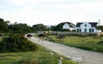 Strauße, De Hoop Nature Reserve, Südafrika