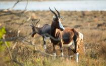 Buntbock, De Hoop Nature Reserve, Südafrika