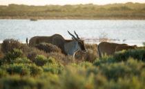 Elenantilopen, De Hoop Nature Reserve, Südafrika