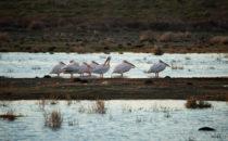 Pelikane, De Hoop Nature Reserve, Südafrika