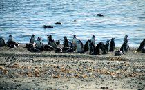 Magellanpinguine, Punta Arenas, Chile
