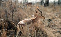Impala im Kruger-Park, Südafrika