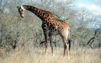 Giraffe im Kruger-Park, Südafrika