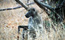 Pavian im Kruger-Park, Südafrika