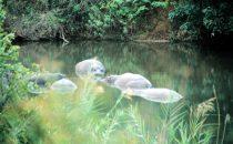 badende Flusspferde im Kruger-Park, Südafrika