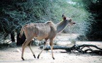 weibliches Kudu im Kruger-Park, Südafrika