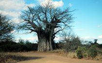 Affenbrotbaum - Baobab im Kruger-Park, Südafrika