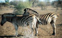 Zebras im Kruger-Park, Südafrika