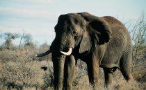 alter Elefantenbulle im Kruger-Park, Südafrika
