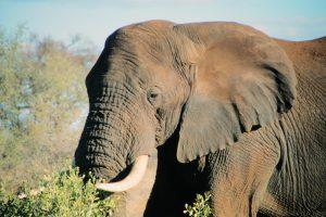 alter Elefantenbulle