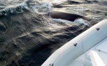 Walbeobachtung, Valdes Halbinsel, Argentinien © Edelmann