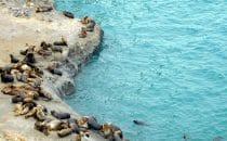 Mähnenrobben Valdés Halbinsel, Argentinien © Edelmann