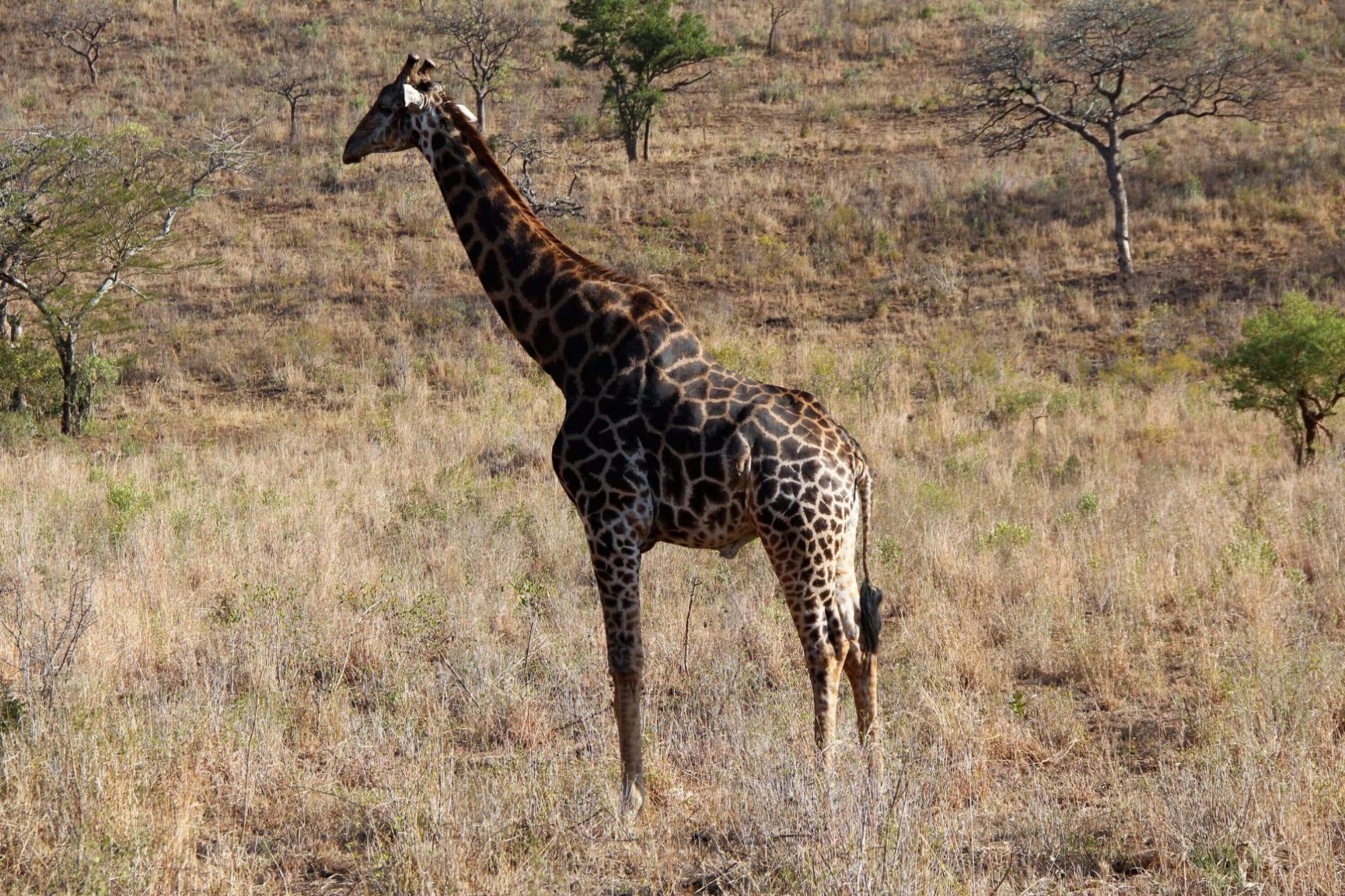 Hluhluwe-Imfolozi - Giraffe, Südafrika