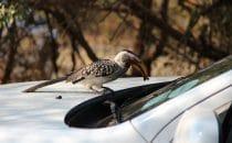 Gelbschnabeltoko Kruger Park, Südafrika