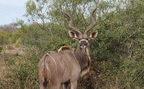 Kudu Kruger Park, Südafrika