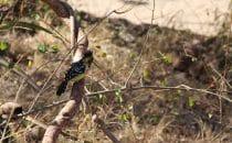 Hauben-Bartvogel Kruger Park, Südafrika
