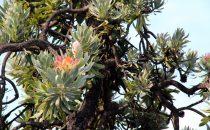 Proteabaum am Mehloding Trail ©Woitscheck