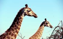 Hluhluwe-Imfolozi - Giraffen, Südafrika