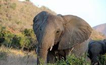 Hluhluwe-Imfolozi - Elefant, Südafrika