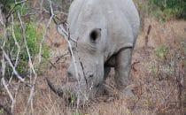 Hluhluwe-Imfolozi - Breitmaulnashorn, Südafrika