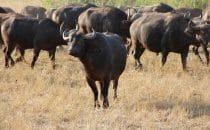 Hluhluwe-Imfolozi - Büffelherde, Südafrika