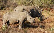 Hluhluwe-Imfolozi - Breitmaulnashorn, Mutter und Kind, Südafrika