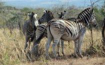 Hluhluwe-Imfolozi - Zebras, Südafrika