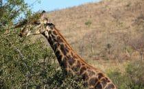 Hluhluwe-Imfolozi - Giraffe nah, Südafrika
