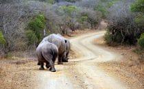 Hluhluwe-Imfolozi - Nashörner am Straßenrand, Südafrika