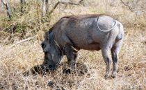 Hluhluwe-Imfolozi - Warzenschwein, Südafrika