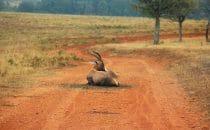 Hluhluwe-Imfolozi - Nyala, Südafrika