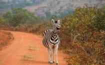 Hluhluwe-Imfolozi - Zebra, Südafrika