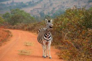 Hluhluwe-Imfolozi - Zebra © Woitscheck