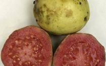 ripe_guava