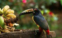 collared aracari, © La Carolina Lodge, Costa Rica