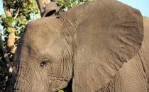 Elefant Kruger Park, Südafrika