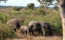 Elefanten Kruger Park, Südafrika