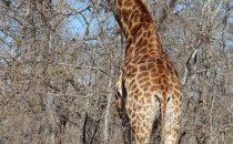 Giraffe im Hlane Nationalpark, Swaziland
