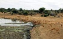 Impalas Kruger Park, Südafrika