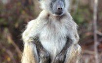junger Pavian Kruger Park, Südafrika