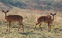 Hluhluwe-Imfolozi - Kleine Kudus, Südafrika
