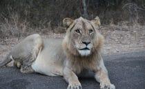 Löwe Kruger Park, Südafrika