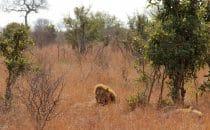 Löwen Kruger Park, Südafrika