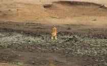 Löwin Kruger Park, Südafrika