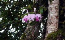 Tierradentro - Orchids, Colombia