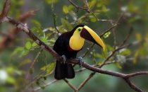 Toucan, © La Carolina Lodge, Costa Rica