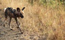 Hluhluwe-Imfolozi - seltener Anblick, Wildhund, Südafrika